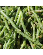 Salicorne bio Terre Saline