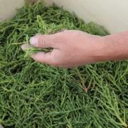Cueillette de salicorne