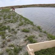 Cueilette de salicorne