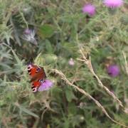 Papillon dans les marais