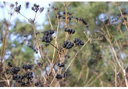 Le maceron : le poivre de l'île de ré